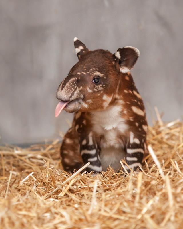 Baby Baird's Tapir born at Nashville Zoo this year.