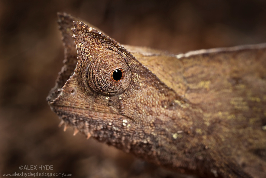 Stump-tailed chameleon (Brookesia superciliaris)