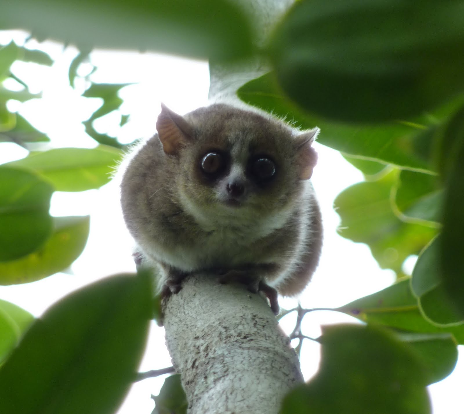 This is a recently discovered lemur species that is awesome.