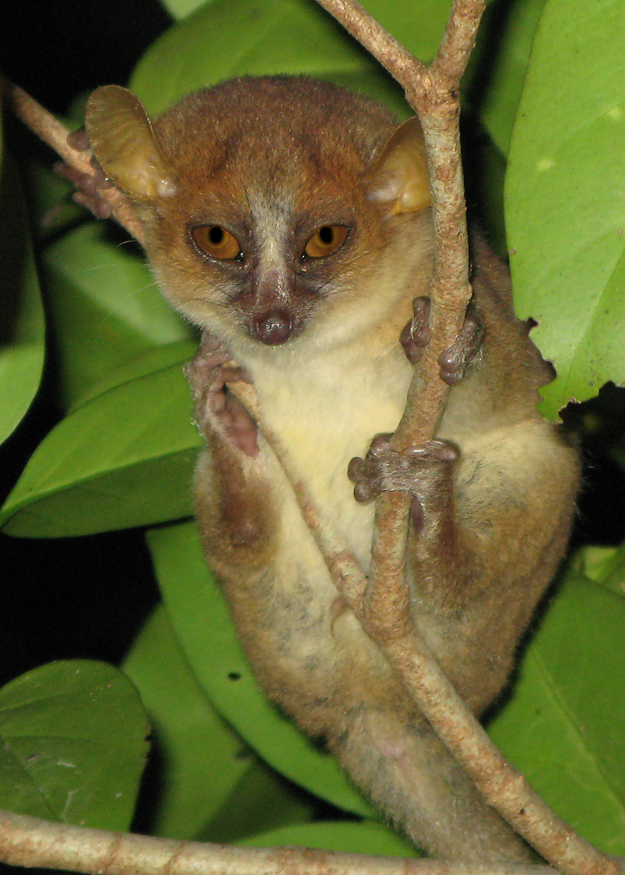 This mouse lemur is not impressed with your primate self.