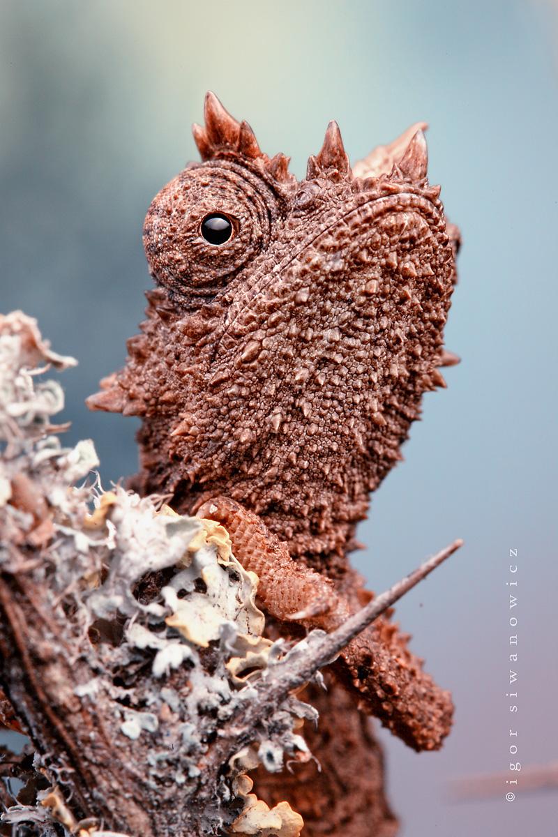 Domergue's Leaf Chameleon (Brookesia thieli)