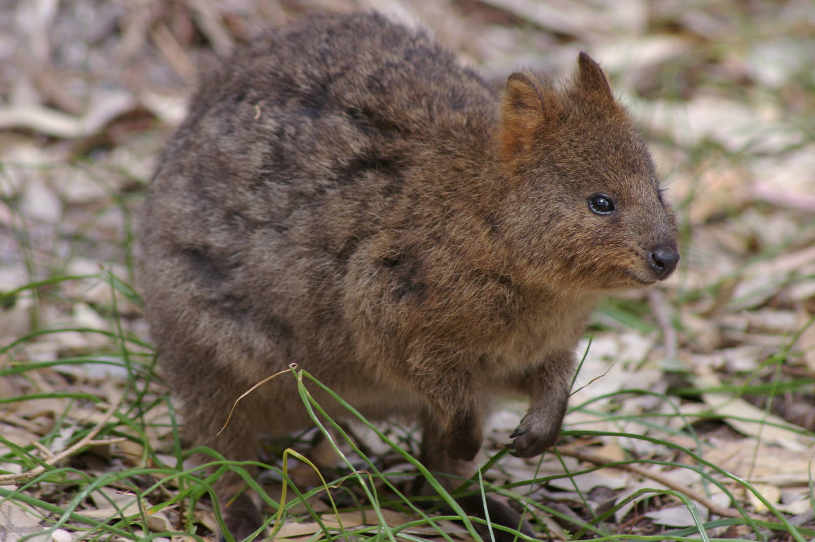 Sometimes quokkas are teh chubbs
