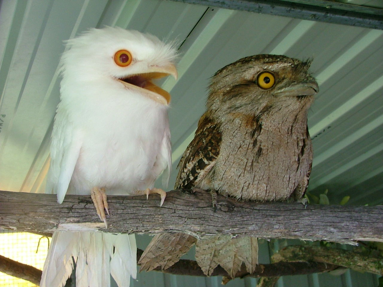 Tawny Frogmouths are members of the Nightjar family of birds.