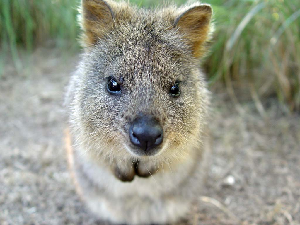 This quokka wants to nuzzle.