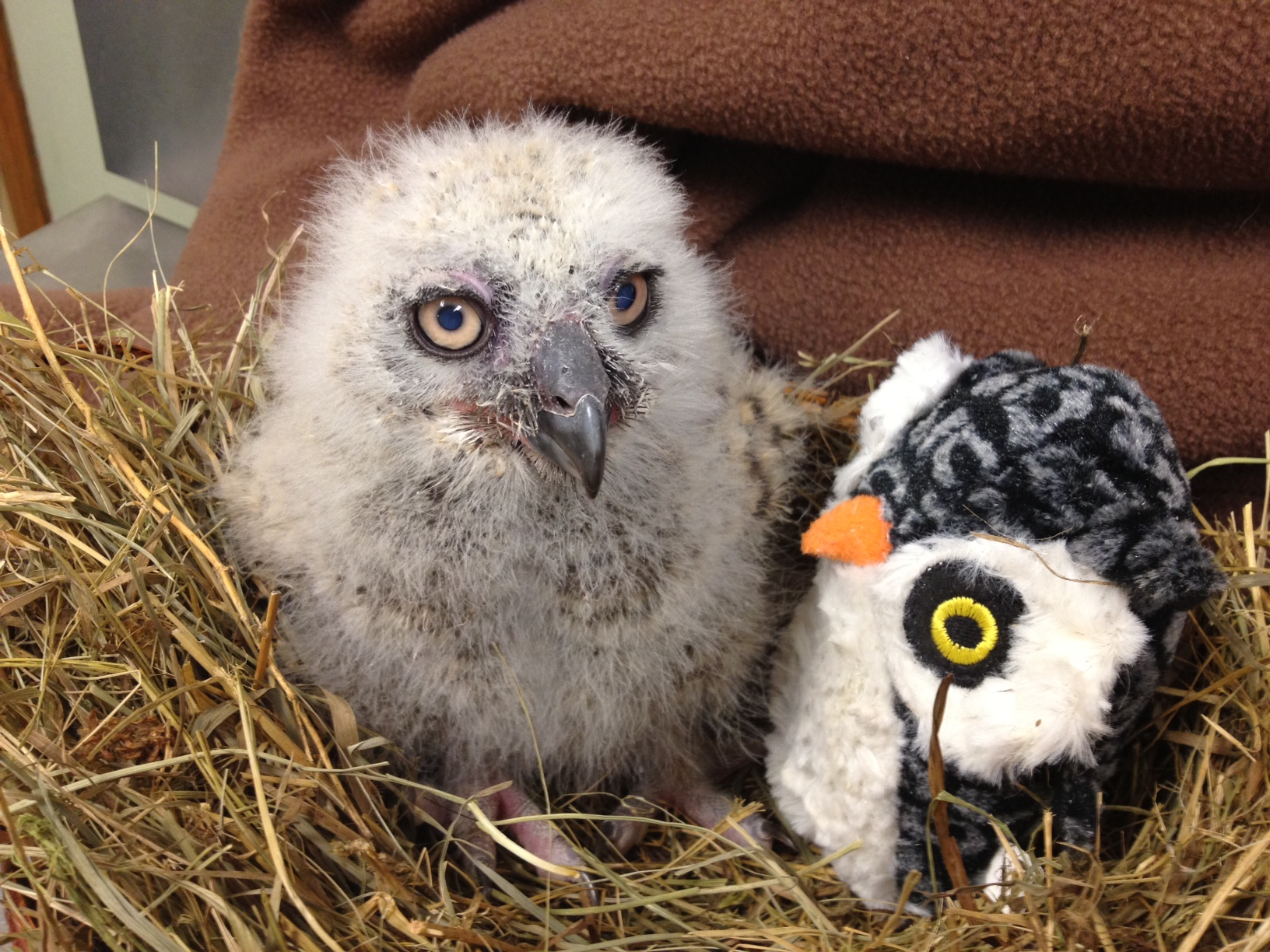 Great Horned Owl is deeply unimpressed with surrogate sibling.