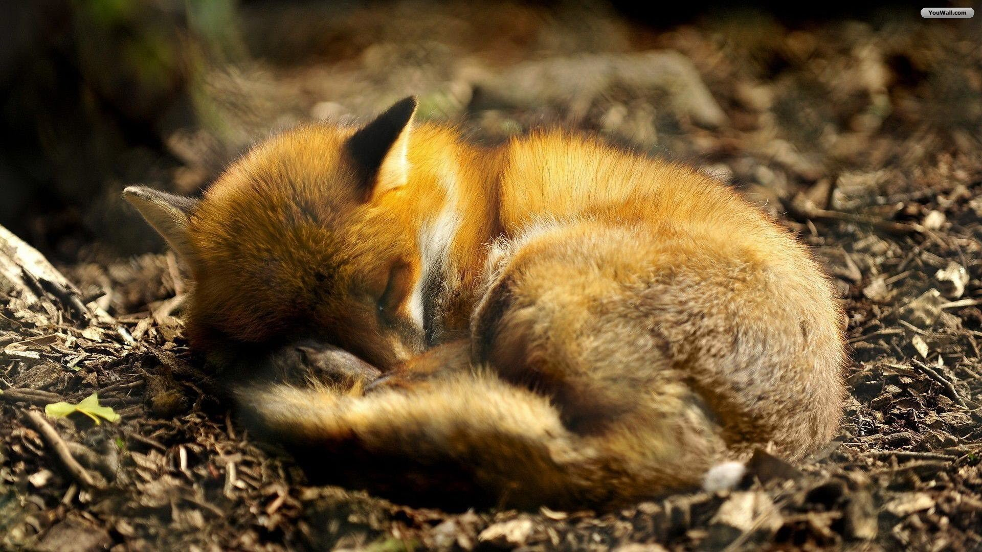 Fox Cuteconnoisseur